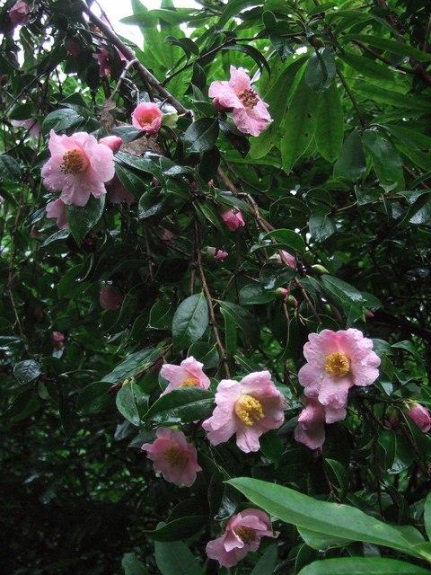 Camellia, Cockington