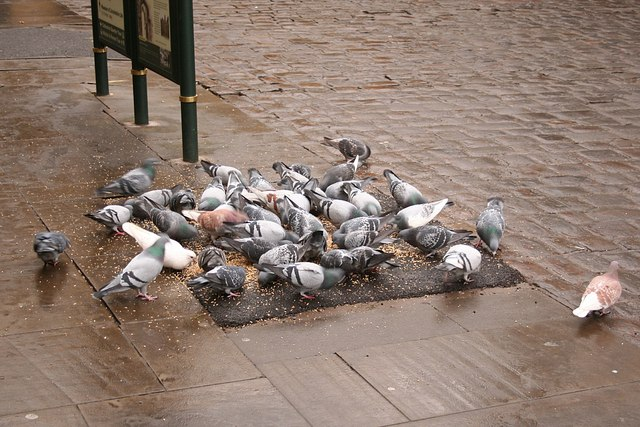 Pigeons in Castle Square