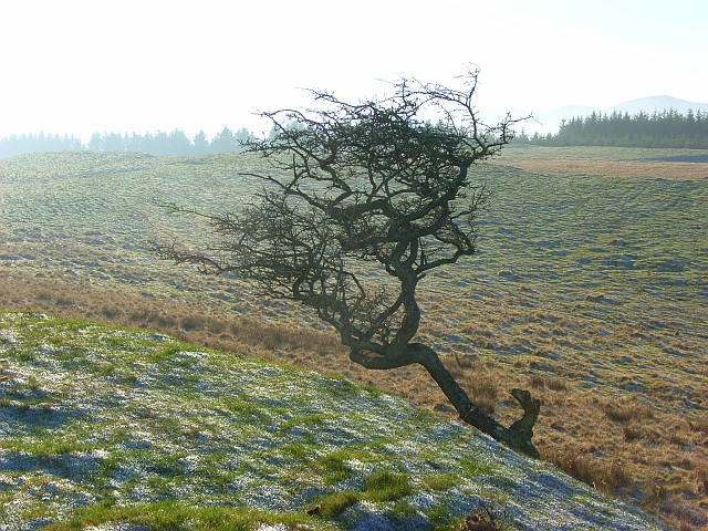 Hawthorn on Berrier Hill