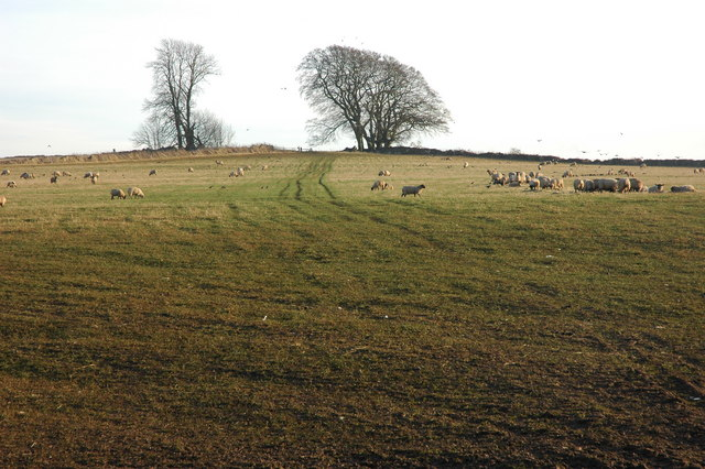 Sheep near Stumps Cross