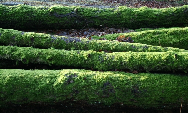 Mossy Logs at Malham Tarn