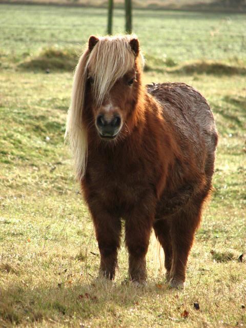 Shetland Pony in thick winter coat