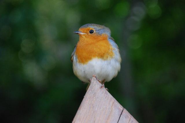 Robin Goch Portmeirion Robin
