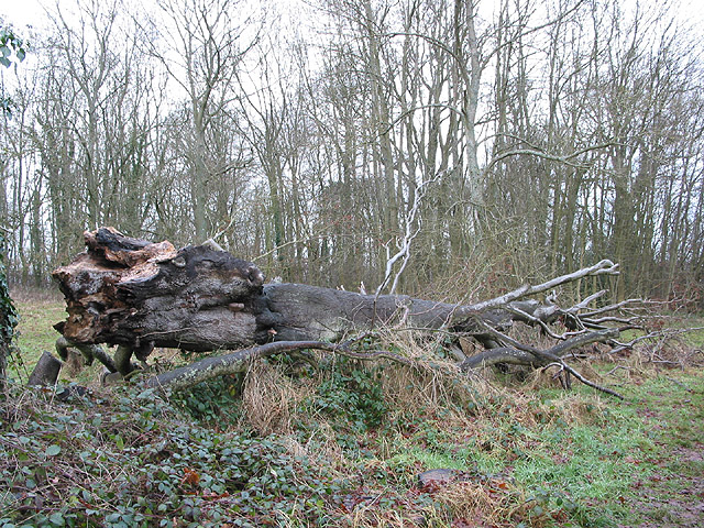 Felled beech at Dinedor Camp