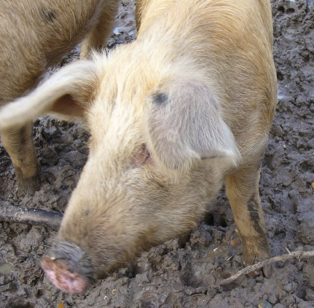 Merrist Wood Pig