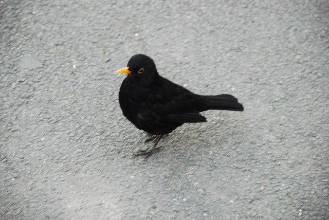 Mwyalchen - Turdus merula - Blackbird