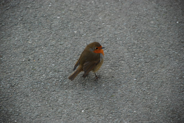 Robin Goch - Erithacus rubecula - Robin