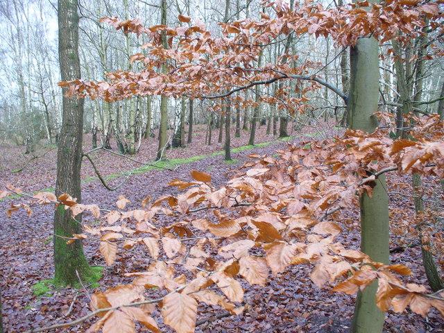 Whitmoor Common Birchwood