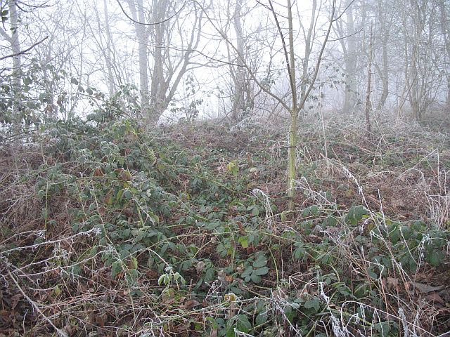 Frosted brambles