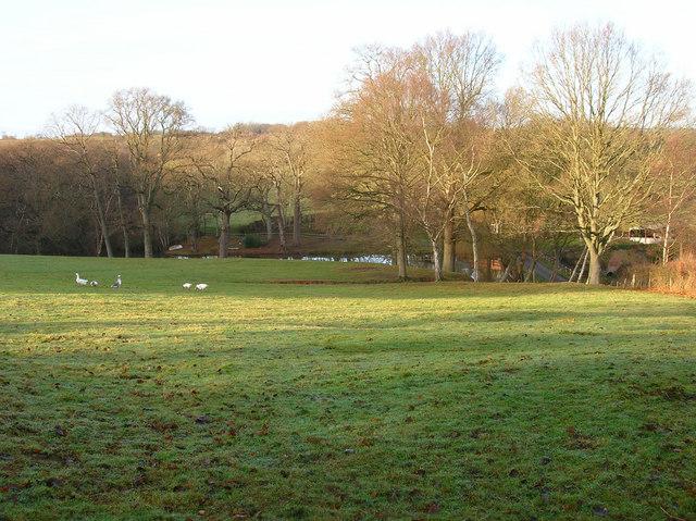 Geese, Taylors Farm