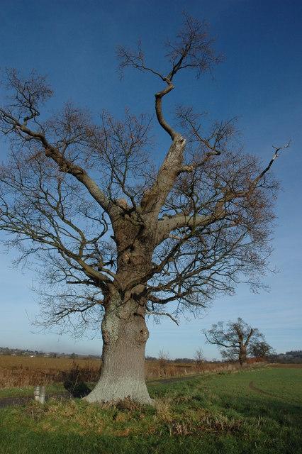 Oak trees near Hailes Abbey