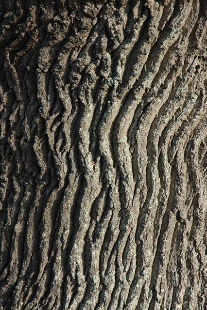 Oak tree bark, Didbrook