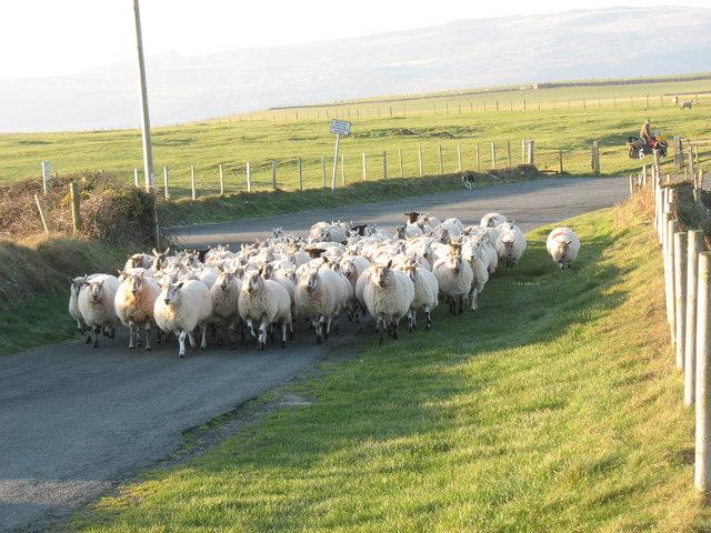 Towyn Farm sheep on the Llanengan road