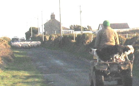 Sheep walk, dogs ride