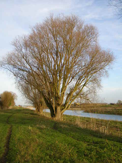 2 Ash trees, growing close to the River Welland