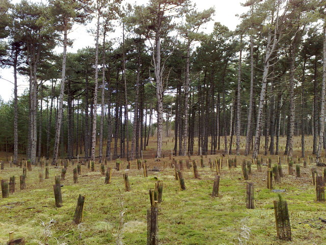 Pine Forest at Shorrock's Hill, Formby