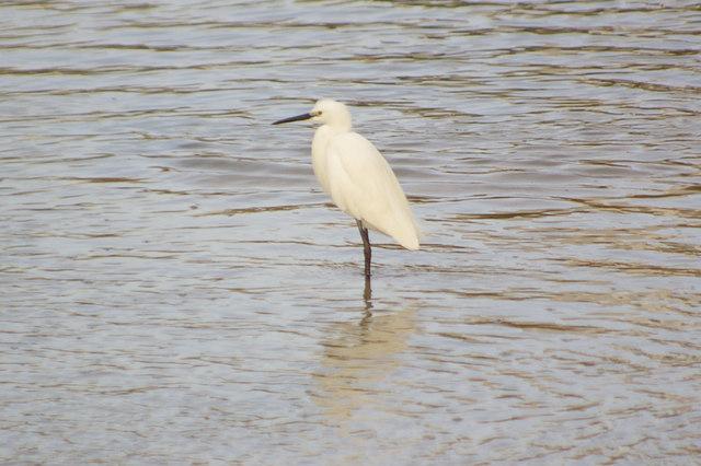Little Egret in Widewater Lagoon