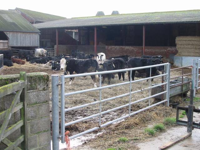 Cattle at Bonnington Farm, Goodnestone