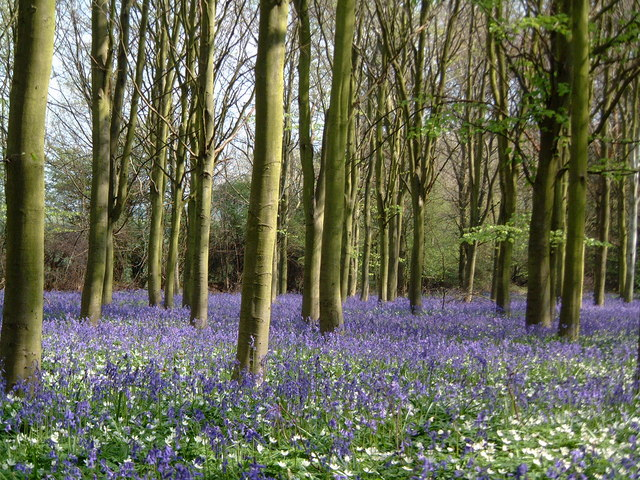 Bluebells at Helpston Heath