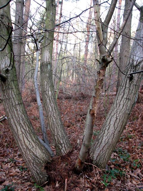 One tree, many trunks
