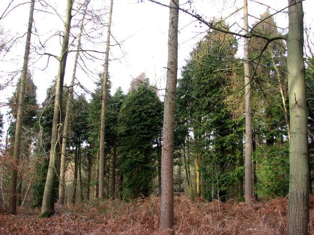 A stand of cypress trees