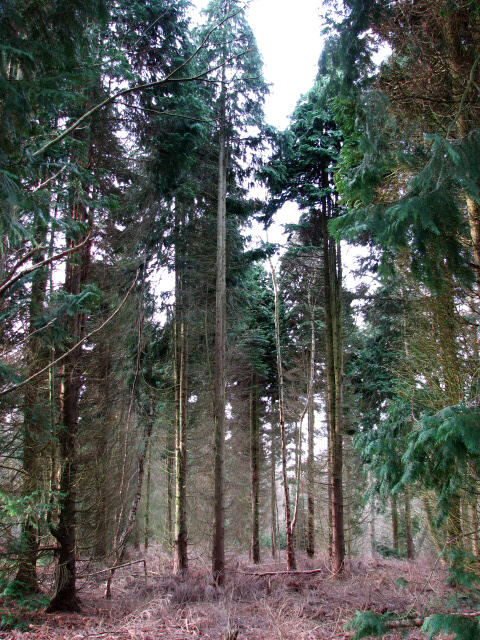 Cypress trees in Great Wood