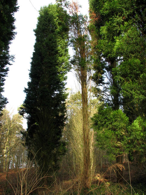 Tall cypress trees