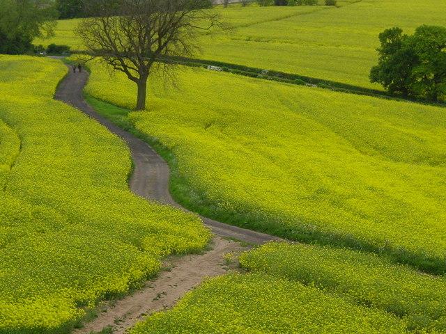 Oil seed rape fields, Loath Hill