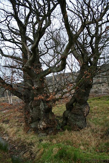 Split Oak Tree Beneath Greenhow Bank