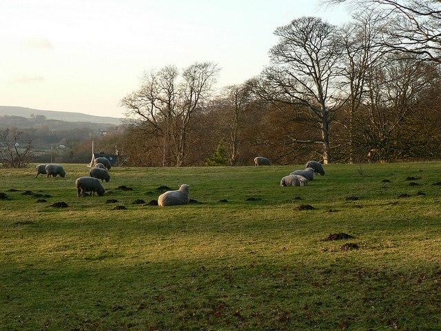 Sheep by Knott Lane