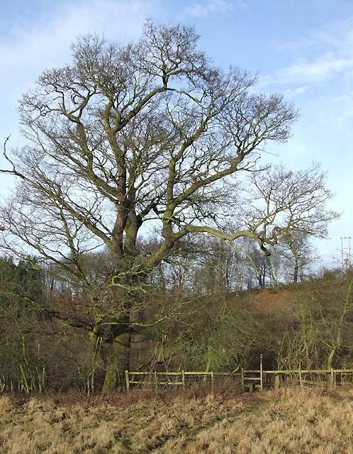 Winter Oak and Footpath, Swindon, Staffordshire