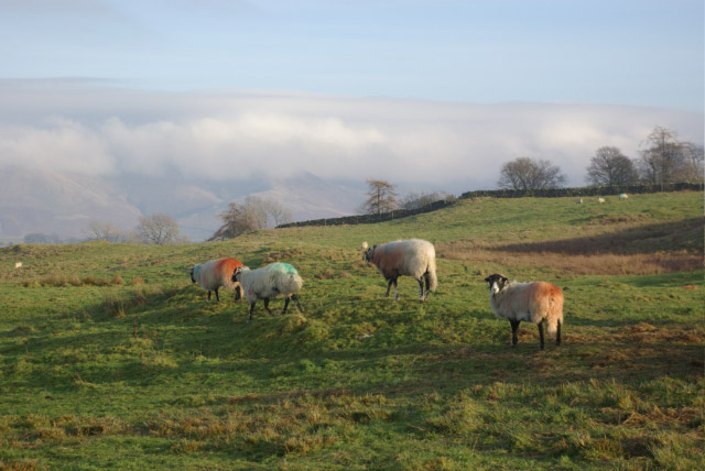 Sheep on Lambrigg Fell