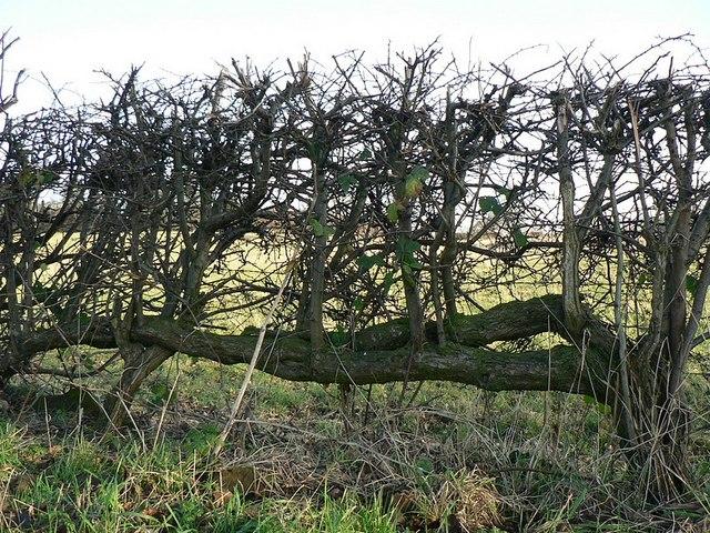 Old laid hedge, Bar Lane, Horsforth