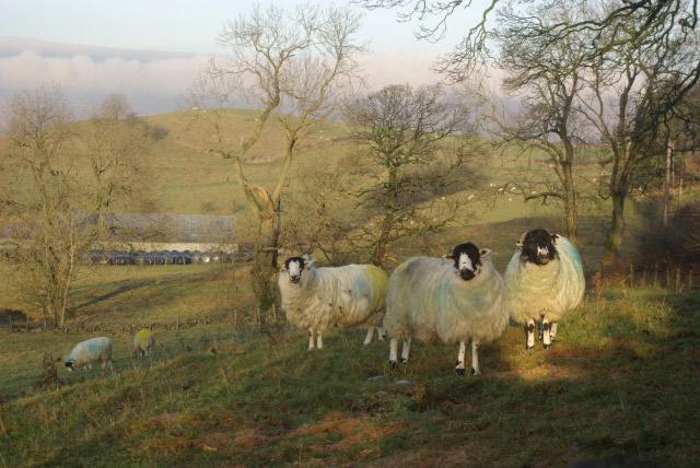 Sheep at Hollins
