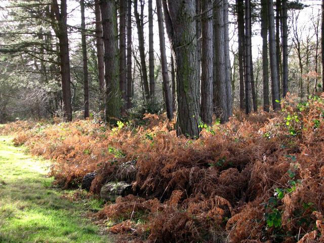 Bracken-lined path