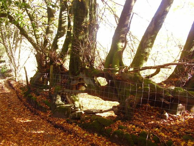 Old road hedge