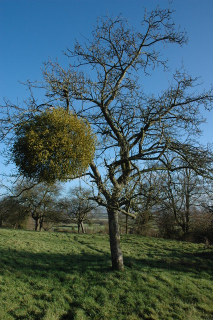 Apple tree with mistletoe, Apperley
