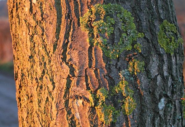 Oak Bark at Dawn