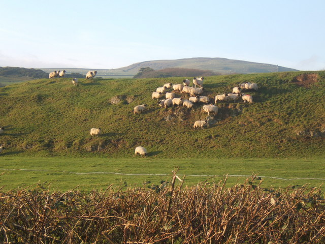 Sheep on steep slope above Millom