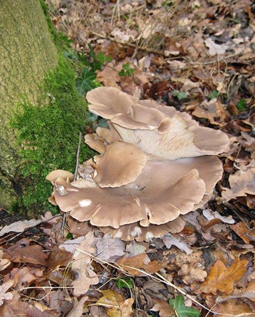 Oyster Mushrooms, Tile Wood