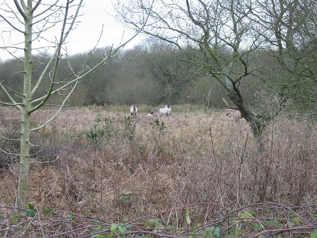 Five Konik ponies graze on land at Gibbin's Brook