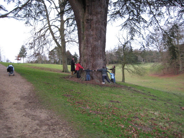 Encircling a large Cedar tree at Stowe Gardens
