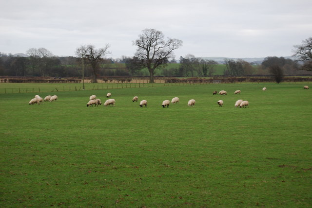 Sheep grazing near Dyffryn
