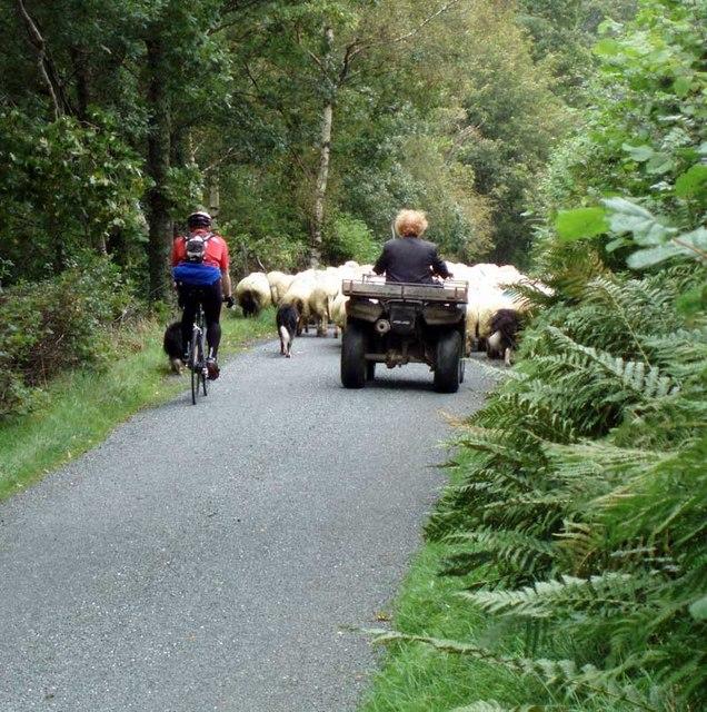 Rush hour? Cwm Hirnant Road