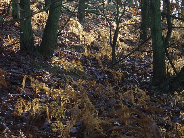 Sunlit bracken in Vicar Water Country Park