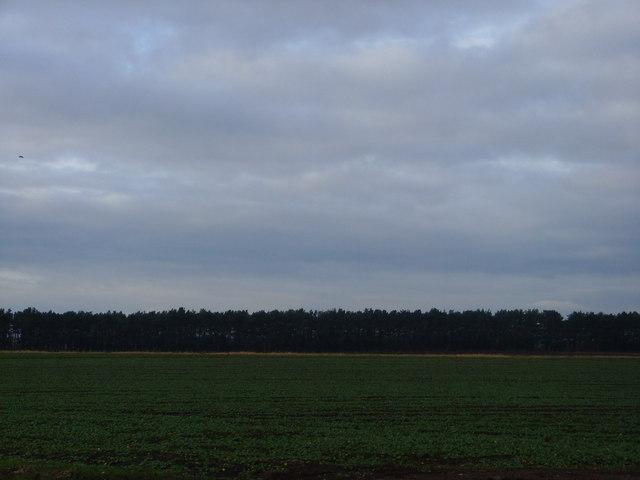 Long plantation at Ercall Heath