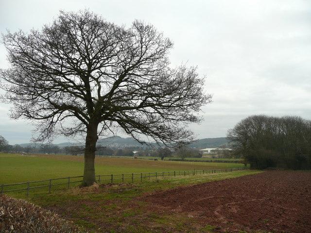 Oak tree by Siddington Lane