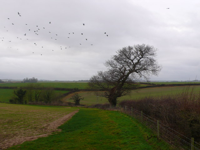 Crows, old tree and hedgerow