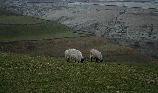 Sheep Above Park Gill
