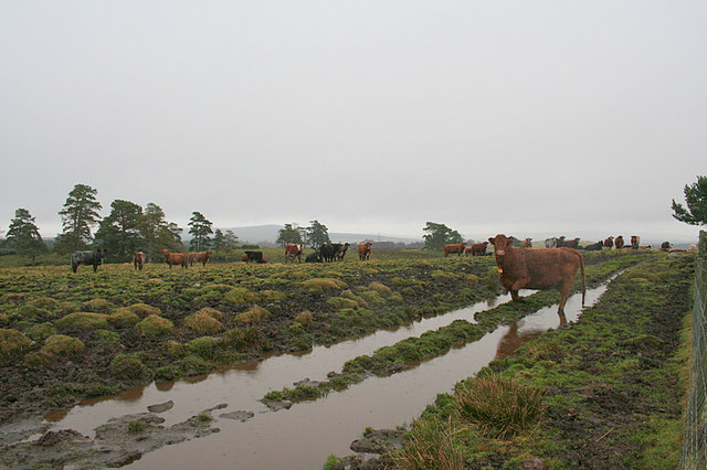 Beef cattle on the sodden track by Clunas reservoir